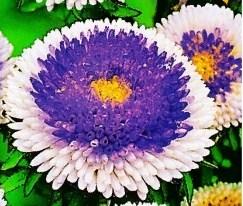 Купить семена, растение – Астра Матсумото (голубая) (Callistephus chinensis)