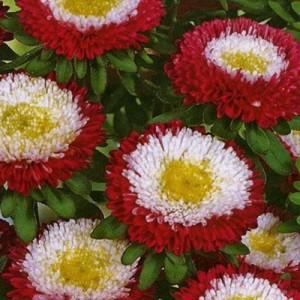 Купить семена, растение – Астра Матсумото (бордовая) (Callistephus chinensis)