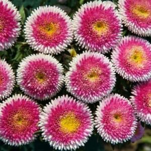 Купить семена, растение – Астра Матсумото (красная с белым) (Callistephus chinensis)