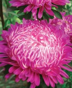 Купить семена, растение – Астра пионовидная Седая дама (красная)
