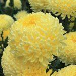 Купить семена, растение – Астра Бьютефул F1 (желтая)