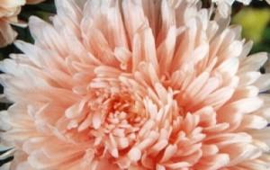 Купить семена, растение – Астра пионовидная Башня (лососевая)