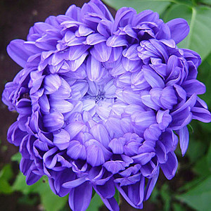 Купить семена, растение – Астра пионовидная Коралл (темно-голубая)