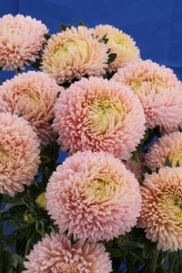 Купить семена, растение – Астра пионовидная Коралл (бежевая)