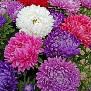 Купить семена, растение – Астра пионовидная Смесь окрасок