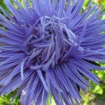 Купить семена, растение – Астра игольчатая (синяя)