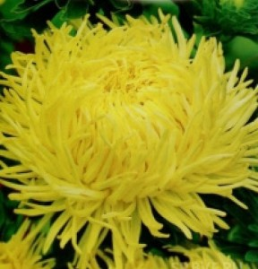 Купить семена, растение – Астра Хризантемовидная Золотко