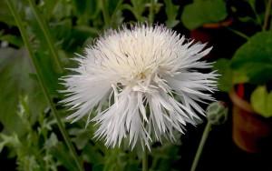 Купить семена, растение – Амбербоа мускатный белый (Amberboa moschata)