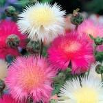 Купить семена, растение – Амбербоа мускатный (Amberboa moschata)