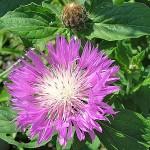 Купить семена, растение – Амбербоа мускатный лиловый (Amberboa moschata)