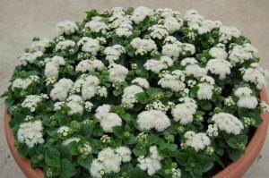 """Купить семена, растение – Агератум карликовый """"Снежок"""" (Ageratum houstonianum)"""