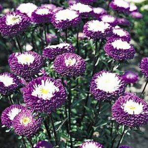 Купить семена, растение – Астра Матсумото (фиолет)