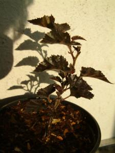Купить семена,растение – Береза Повислая Пурпурная (Betula pendula Purpurea)