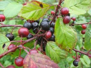 Купить семена, растение – Жостер слабительный (Rhamnus cathartica)