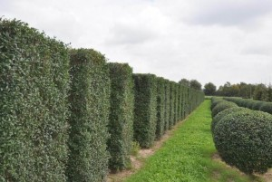 Купить семена, растение – Бирючина обыкновенная (Ligustrum vulgare)
