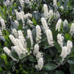 Купить семена, растение – Лавровишня лекарственная (Prunus laurocerasus)