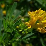 Купить семена, растение – Люцерна серповидная (Medica falcata)