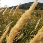 Купить семена, растение – Вейник наземный (Calamagrostis epigeios)
