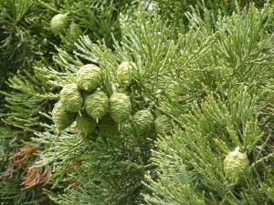 Купить семена, растение – Секвойядендрон гигантский (Sequoiadendron giganteum)