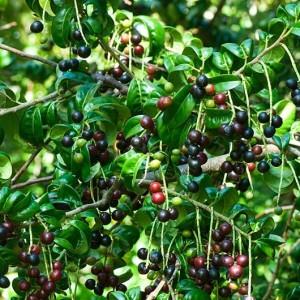 Купить семена, растение – Лавровишня Cameliifolia (Laurocerasus 'Cameliifolia')