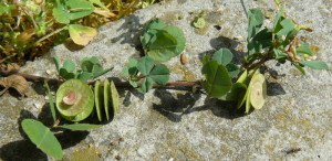 Купить семена, растение – Люцерна округлая (Medicago orbicularis)