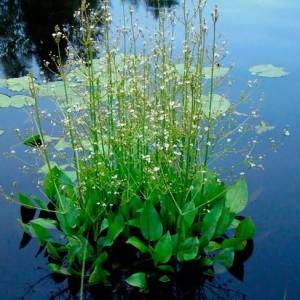 Купить семена, растение – Частуха подорожниковая (Alisma plantago-aquatica)