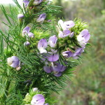 Купить семена, растение – Псоралея (Psoralea)