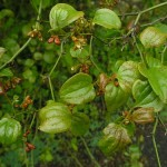 Купить семена, растение – Смилакс голый (Smilax glabra)