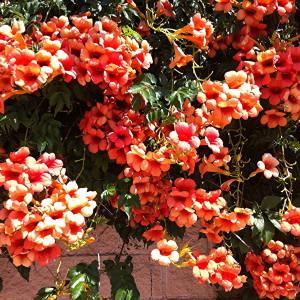 Купить семена, растение – Кампсис крупноцветковый (Campsis grandiflora)