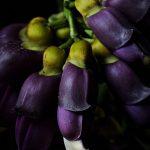 Купить семена, растение – Мукуна вечнозеленая (Mucuna sempervirens)