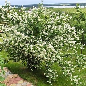 Купить семена, растение – Сибирка алтайская (Sibiraea altaiensis)