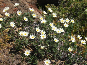 Купить семена, растение – Дриада восьмилепестная (Dryas octopetala)