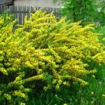 Купить семена, растение – Ракитник русский (Chamaecytisus ruthenicus)