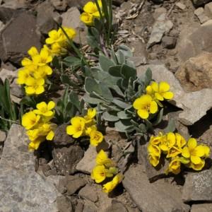 Купить семена, растение – Физария прямая (Physaria condensata)