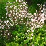 Купить семена, растение – Камнеломка теневая (Saxifraga umbrosa)