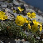 Купить семена, растение – Мак полярный (Papaver radicatum)