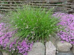 Купить семена, растение – Сеслерия голубая (Sesleria caerulea)