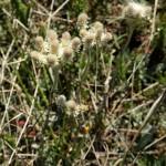 Купить семена, растение – Кошачья лапка двудомная (Antennaria dioica)