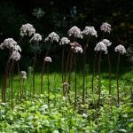 Купить семена, растение – Дармера, Пельтифиллум (Darmera peltata)