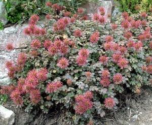 Купить семена, растение – Ацена Буханана (Acaena buchananii)