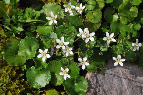 Купить семена, растение – Камнеломка круглолистная (Saxifraga rotundifolia)