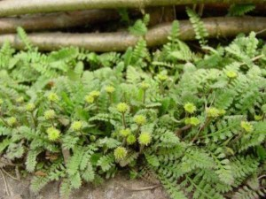 Купить семена, растение – Котула лапчатниковая (Cotula potentillina)
