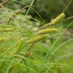 Купить семена, растение – Осока острая (Carex acuta)