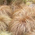 Купить семена, растение – Осока власовидная (Carex coman)