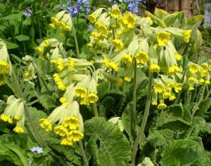 Купить семена, растение – Примула весенняя (Primula veris)