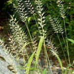 Купить семена, растение – Шероховатка отклоненная (Hystrix patula)