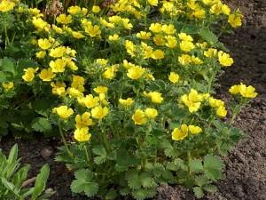Купить семена, растение – Лапчатка крупноцветковая (Potentilla megalantha)