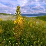 Купить семена, растение – Эремурус красивый (Eremurus spectabilis)