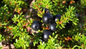 Купить семена, растение – Водяника черная (Empetrum nigrum)