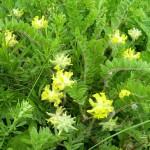 Купить семена, растение – Астрагал шерстистоцветковый